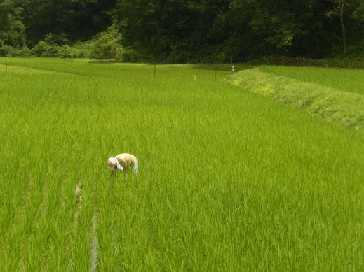 無農薬米の田んぼ